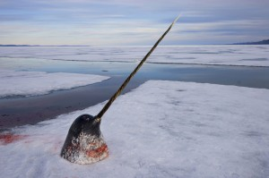 narwhal head and tusk