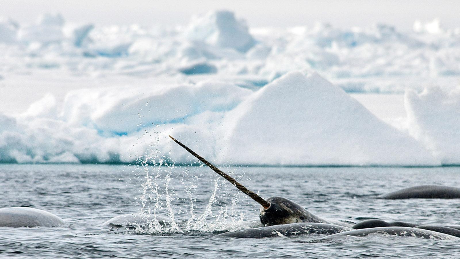 Ecological Niche | Narwhals: Endangered Species