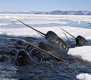 group of narwhals arctic