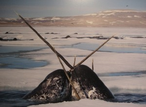 narwhals playing and/or fighting