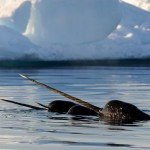 narwhals swimming water