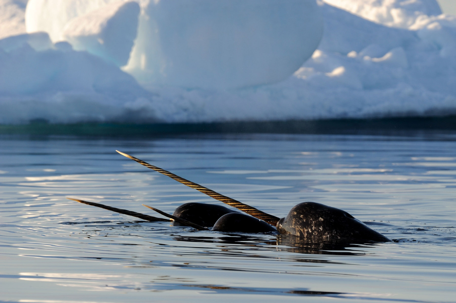 Pictures of Narwhals (Part 1)