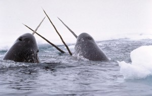 narwhals on surface tusking