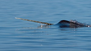 narwhal surfacing