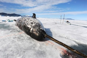narwhal napping on ice