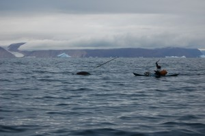 narwhal hunter spearing narwhal