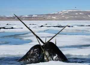 narwhals tusking til the death